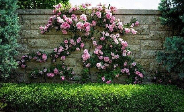 Роза леонардо да винчи: особенности сорта и все секреты правильного ухода и выращивания