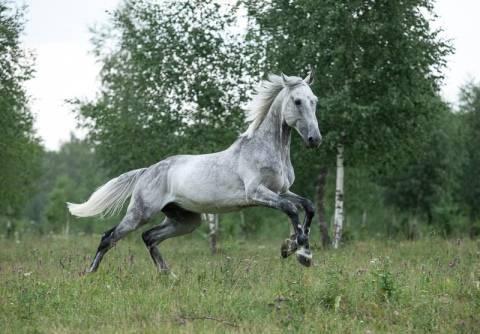 Выведение орловской породы лошадей