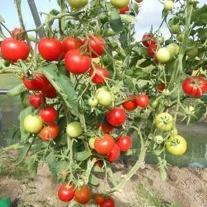 «верлиока» — лучший сорт томатов при высокой влажности и плохом освещении