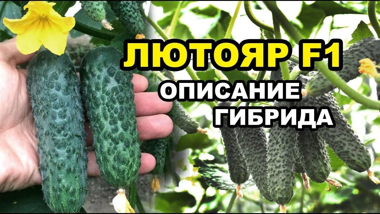 Огурец истобенский — описание сорта, фото, отзывы, посадка и уход