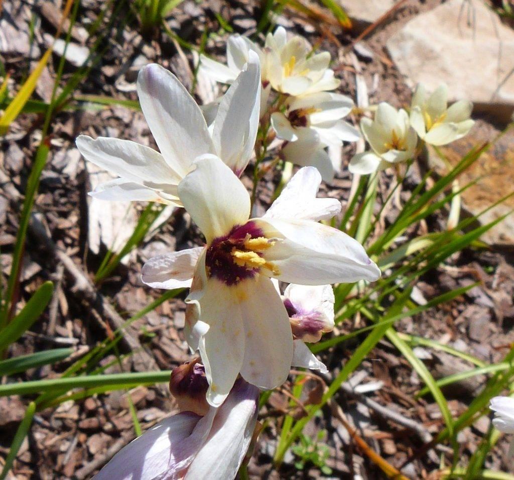 Цветок иксия — посадка и уход в открытом грунте