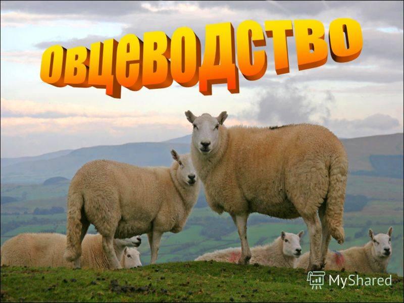 Выгодно ли заниматься разведением овец