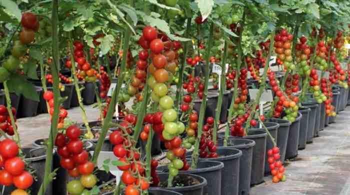 Лучшие семена томатов для теплицы из поликарбоната — штамбовые и индотерминантные сорта