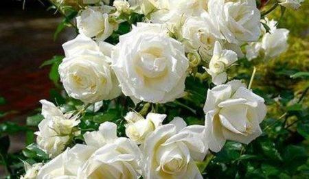 Роза вау (wow нт)
