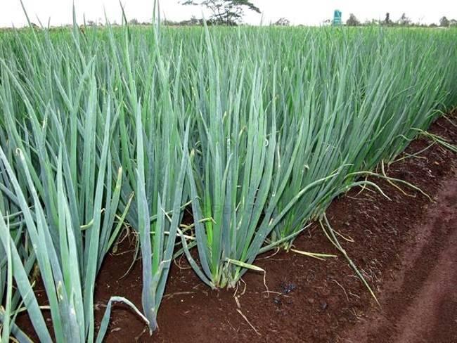 Лук-батун: надёжный поставщик витаминной сладкой зелени