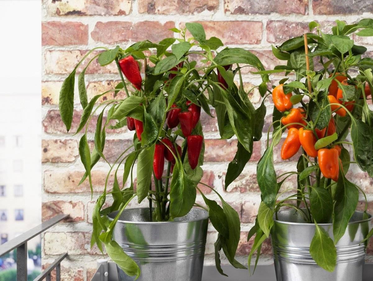 Комнатный острый перец — сорта и особенности выращивания