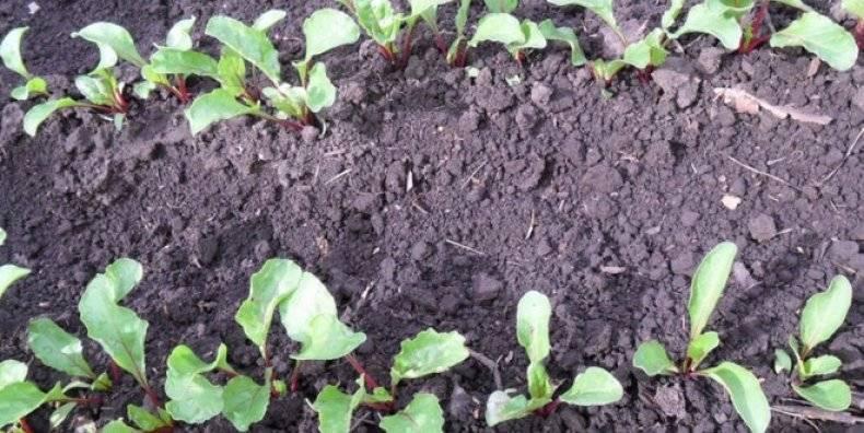 Выращивание свёклы в открытом грунте