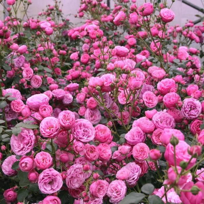 Описание и характеристики розы сорта Помпонелла, посадка и уход