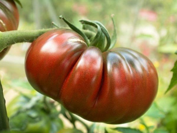 Яркий представитель темноплодных — томат «черномор» описание сорта и его характеристика