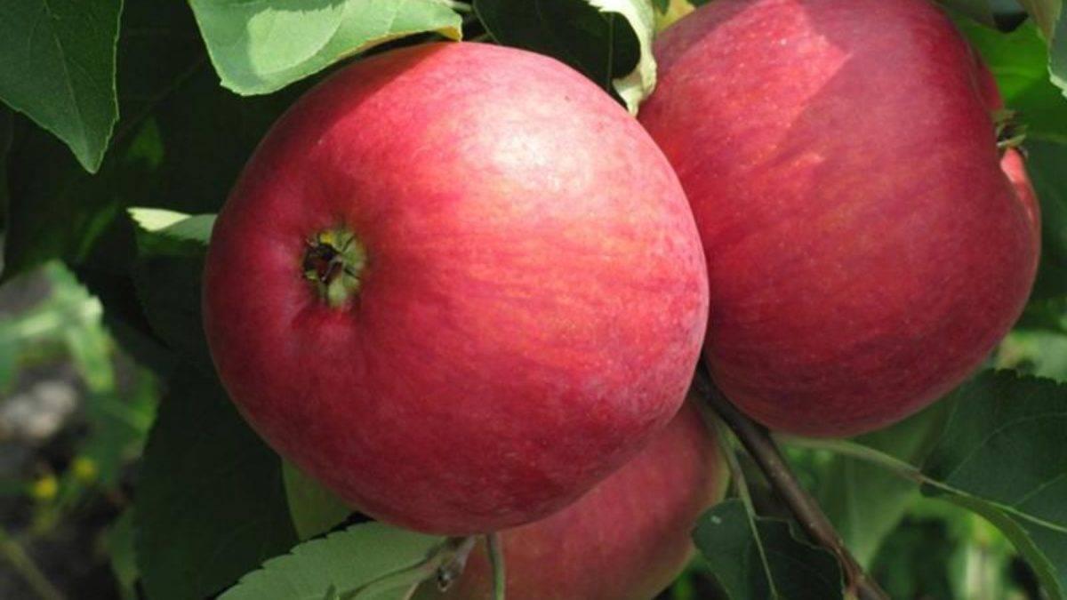 Распростроненный сорт с хорошим вкусом и урожайностью — слава победителям