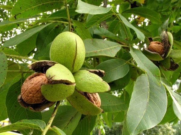 Грецкий орех – посадка и выращивание