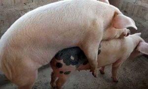 Как узнать что свинья в охоте