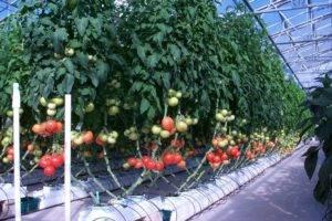 Современные методы— вмассы! выращивание томата нагидропонике недань моде, атребование времени