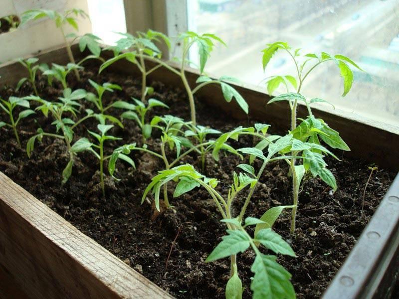 Поможем выбрать день и месяц, чтобы получить хороший урожай томатов. когда сажать семена помидоров на рассаду?