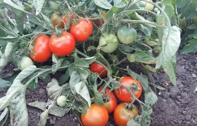 Как посадить томат «примадонна»? отзывы тех, кто сажал
