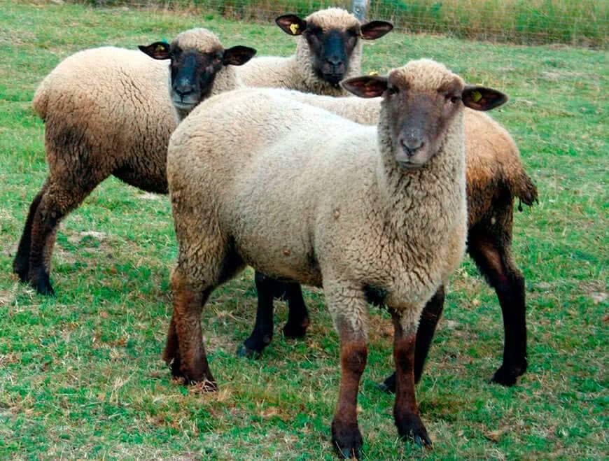 Описание и характеристика овец романовской породы, разведение и кормление