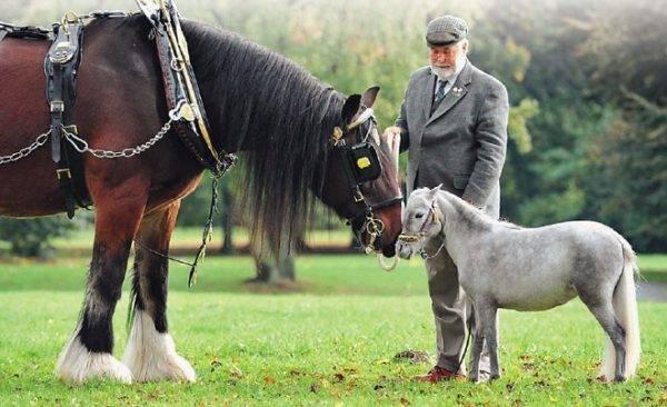 Шайрская тяжелоупряжная порода лошадей (шайр)