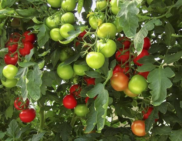 Фитофтора (фитофтороз) на помидорах: фото, методы борьбы