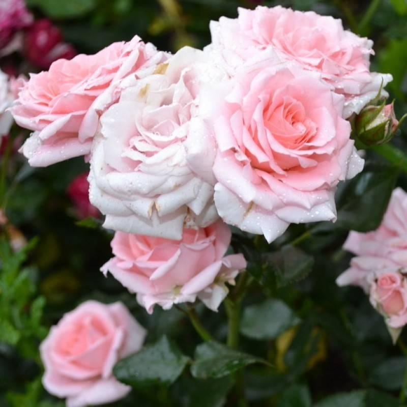 Несравненная красота и практичность почвопокровной розы