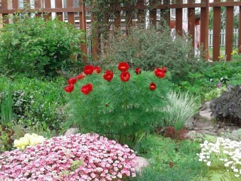 Пион тонколистный: описание вида, выращивание, уход за цветком