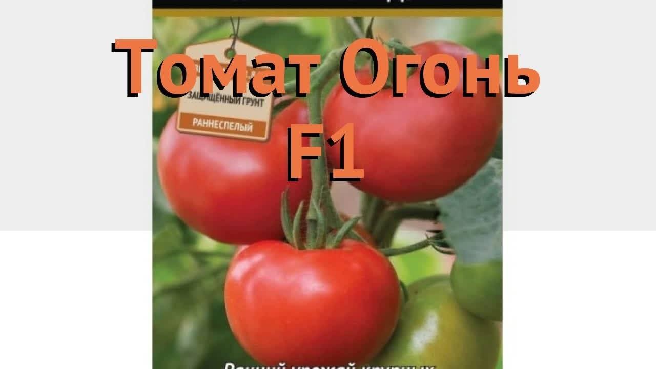 Как вырастить раннеспелый томат «ураган f1»: описание, фото и характеристика сорта