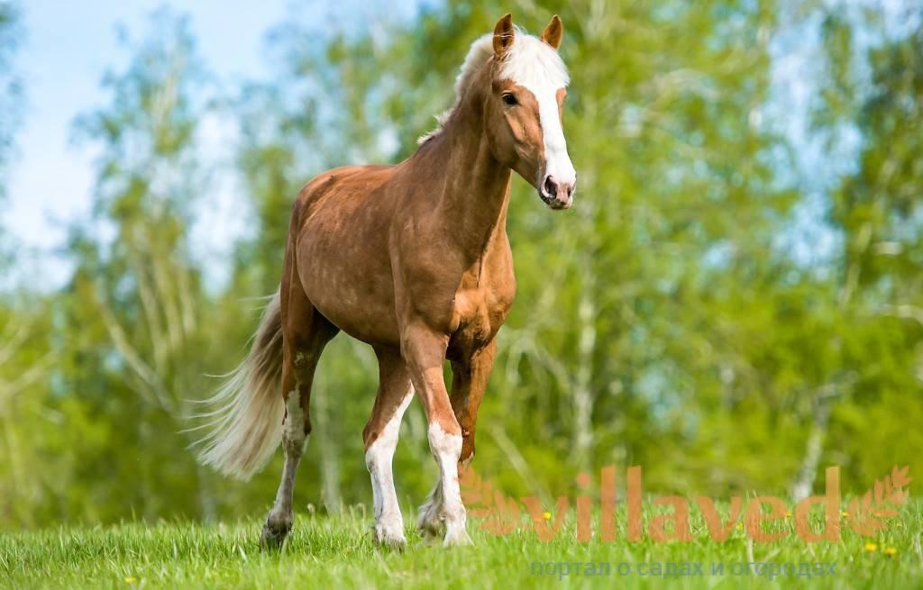 Лошадь с клыками как называется. сколько зубов у лошади и как они устроены. особенности строения зубной системы