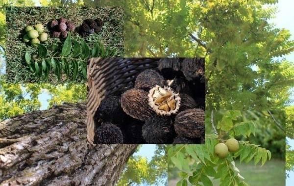 Как выращивать грецкий орех в Подмосковье, лучшие сорта, посадка и уход