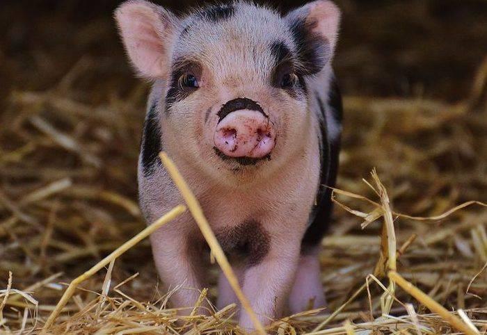 Симптомы паратиф у свиней