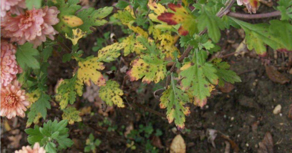 Устранение белого налета на листьях хризантемы