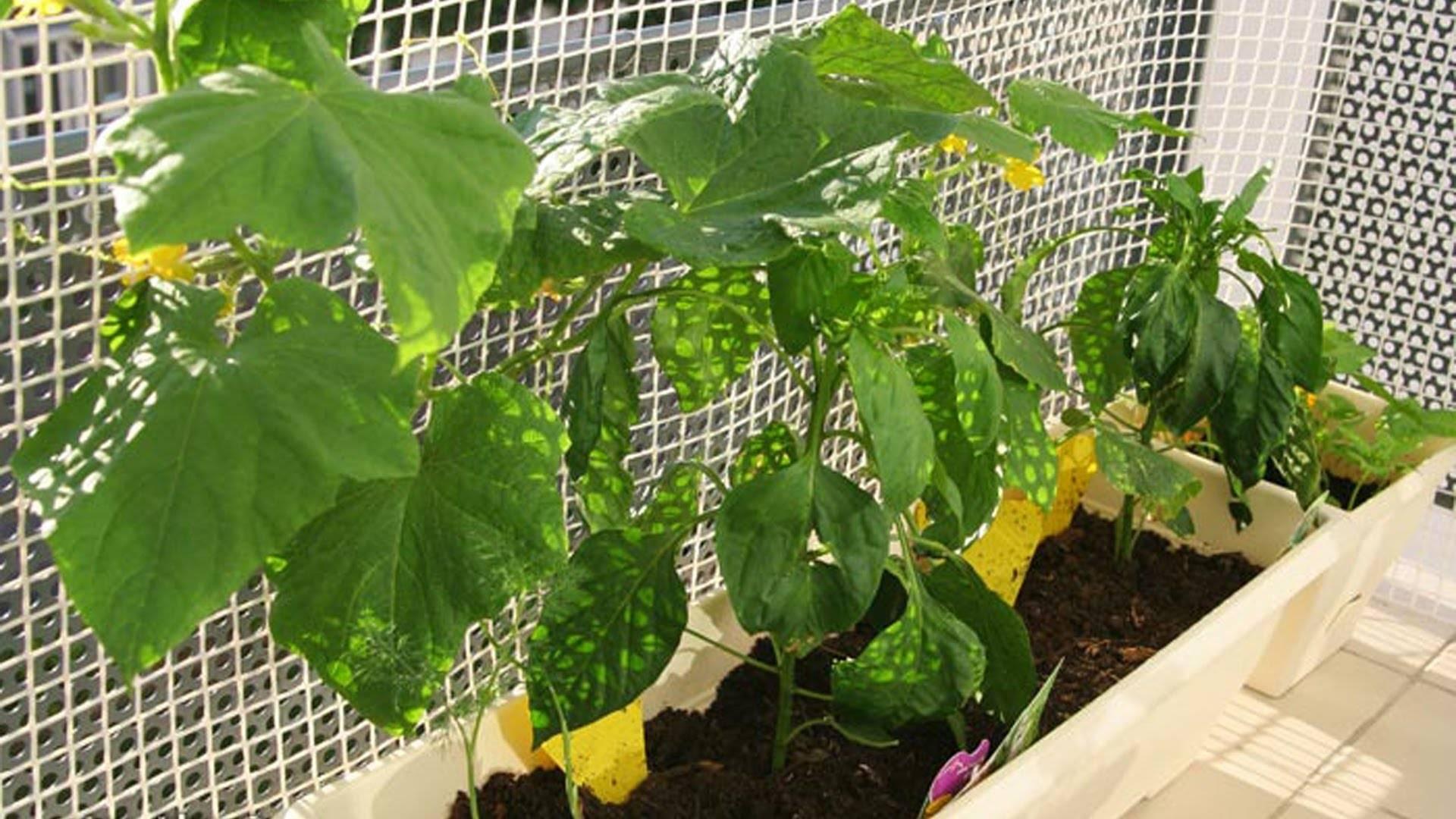 Выращивание огурцов в бутылках пошагово