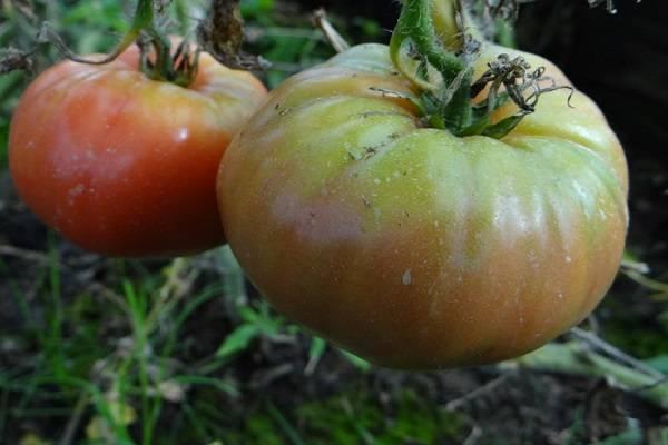 Описание сорта томата майская роза и его характеристики
