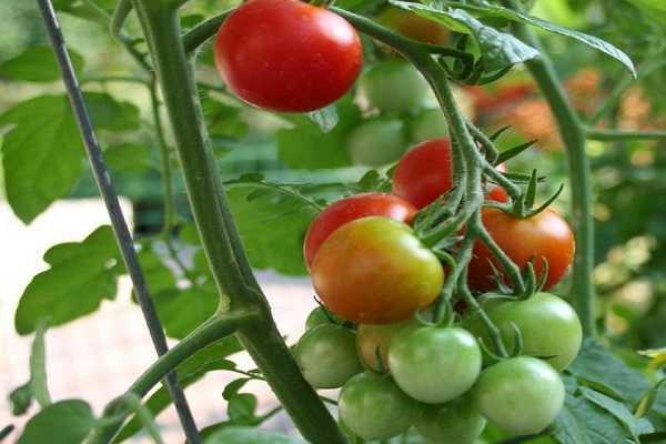 Томат «примадонна f1» — описание, фото, характеристики, выращивание сорта