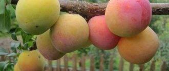 Уход и выращивание сливы в домашних условиях