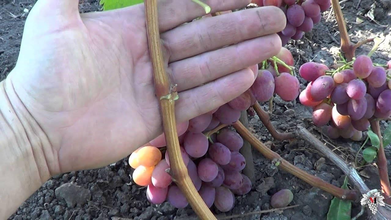 Описание сорта винограда рубиной юбилей и его характеристика