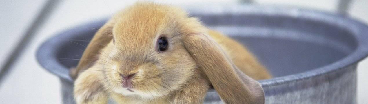 Порода кроликов вислоухий баран: описание и содержание