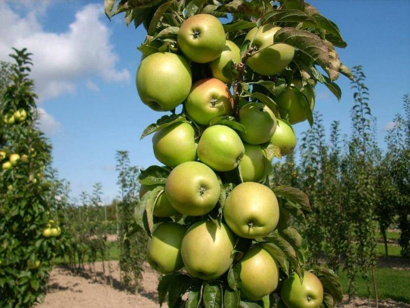 Яблоня звездочка — зимний сорт, дающий до 240 кг плодов, которые хранятся 200 дней
