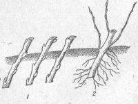 Оптимальные способы размножения войлочной вишни