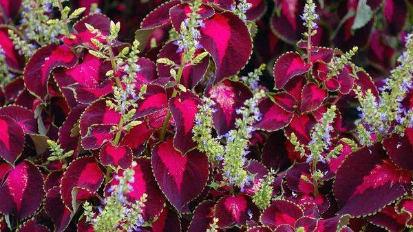 Колеус — цвет страсти