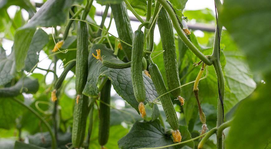 Партенокарпические огурцы: 4 сорта и правила выращивания