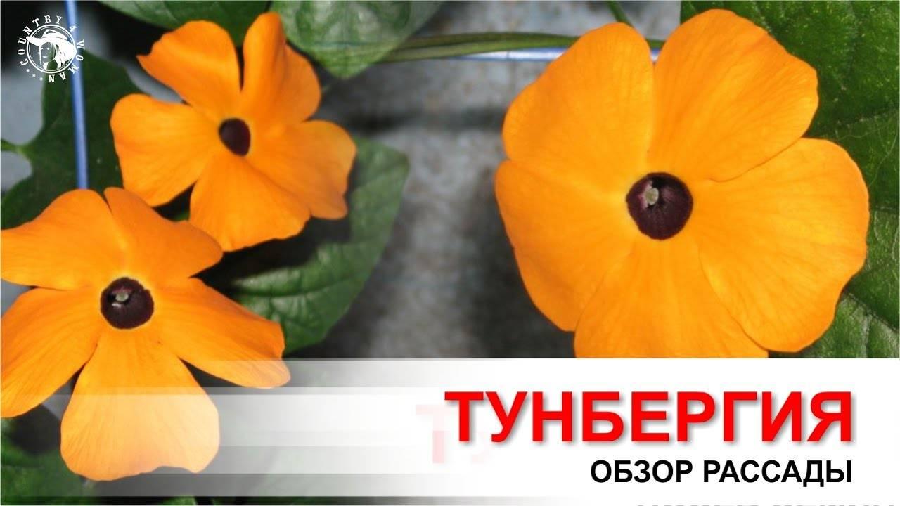 Тунбергия: выращивание из семян