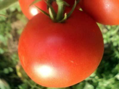 Особенности выращивания помидоров»евпатор»