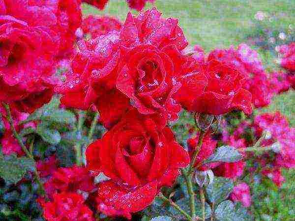 Розы грандифлора сорта фото описание