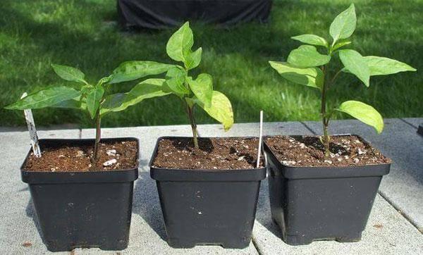 Почему опадают листья у рассады перца: анализ причин и поиск решений