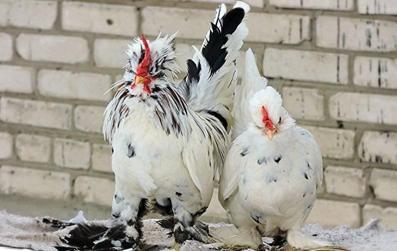 Породы декоративных карликовых кур и особенности их разведения