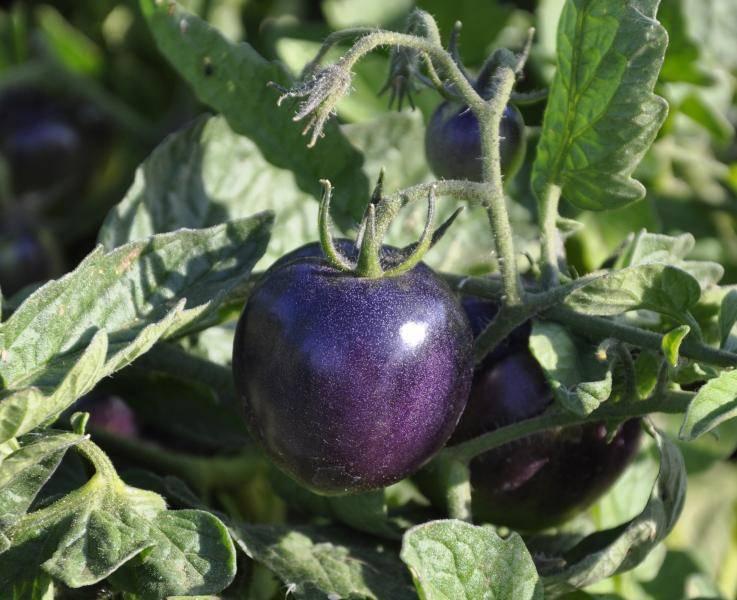Почему листья перца стали фиолетовыми: причины, методы лечения