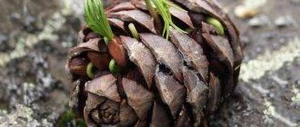 Как вырастить кедр из орешка в домашних условиях