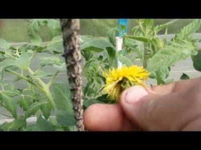 Как нужно опылять огурцы в теплице