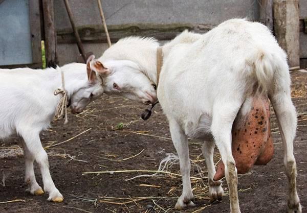 Лечение и профилактика мастита у коров