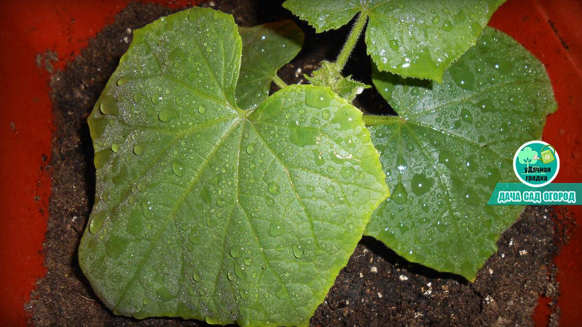 Причины бледно-зеленых листьев огурцов и методы борьбы с проблемой