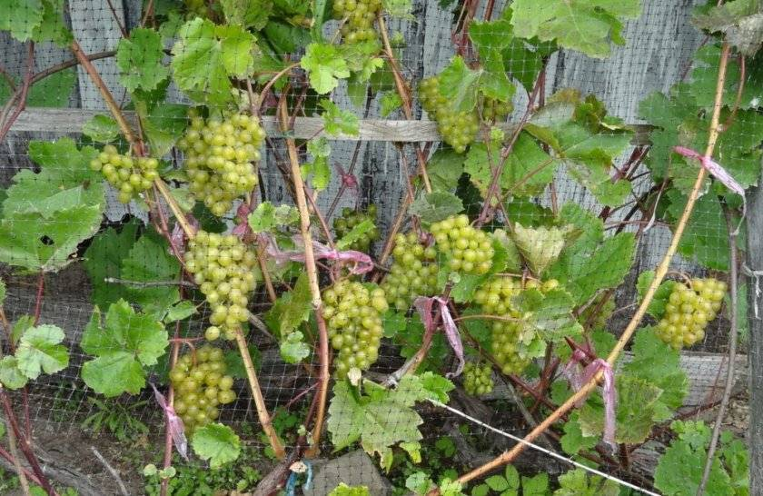 Виноград кристалл: описание сорта